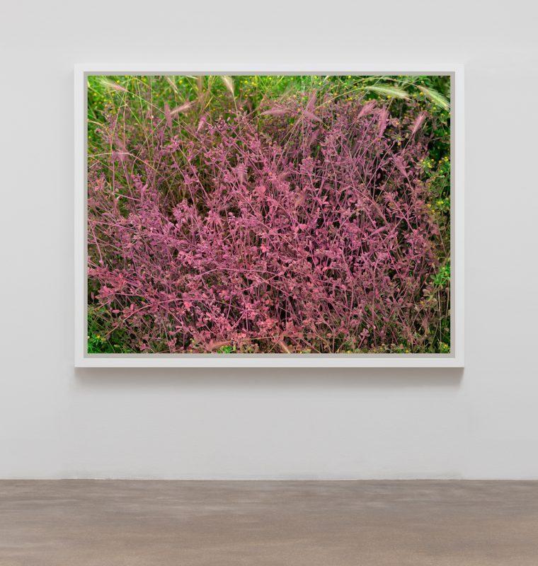 Black Medic and Foxtail Barley (Medicago lupulina and Hordeum jubatum) Pink, 2019