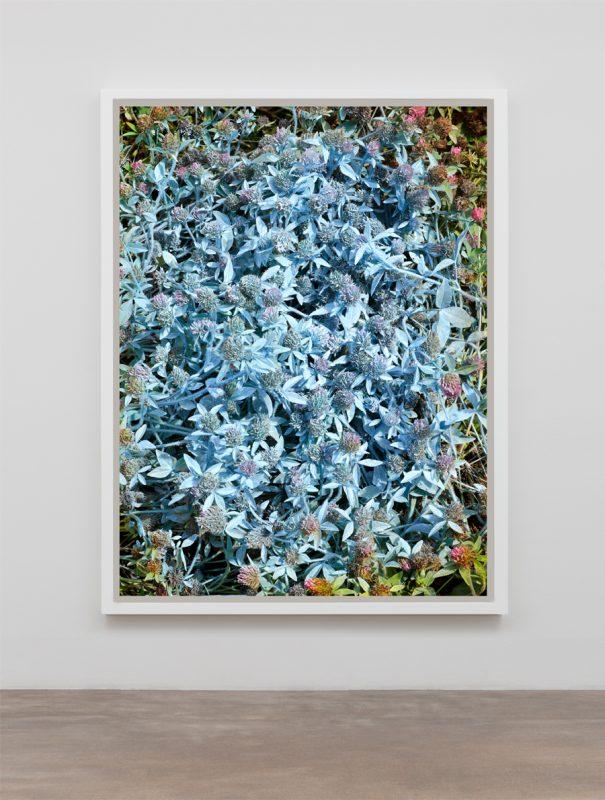 Red Clover (Trifolium pratense) Blue, 2019