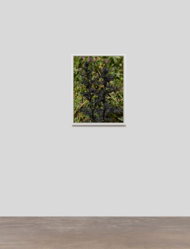 Creeping Thistle (Cirsium arvense) Black, 2019